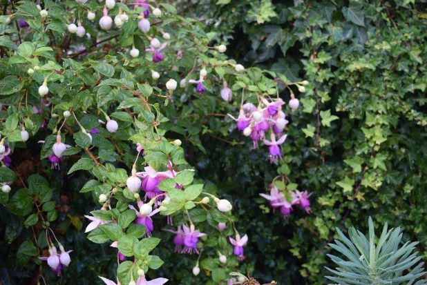 Delta's Sara Fuchsia at East Ruston Old Vicarage Gardens