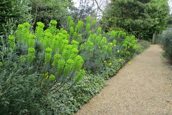 Euphorbias at the East Ruston Old Vicarage Gardens