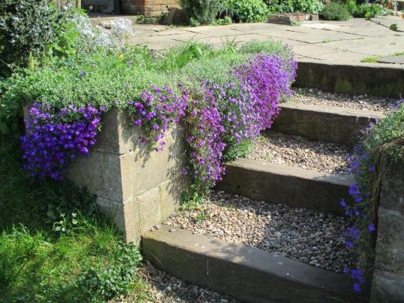 Aubrieta in a rustic english garden