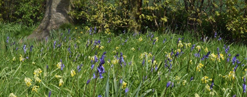 Bluebells and cowslips in a wildflower meadow