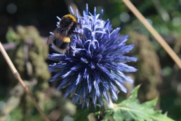 Bee on an Echinops