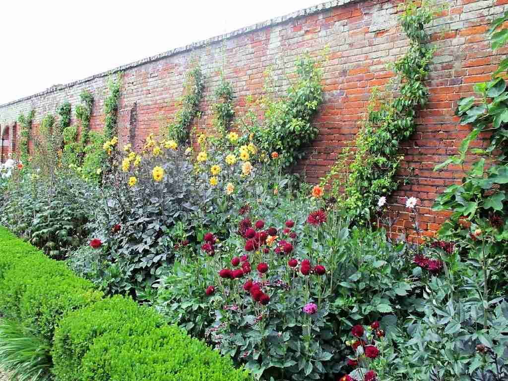 Maroon Dahlias in the Walled Garden