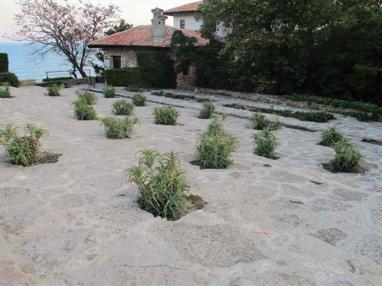 Aloe arborescens set into the stone paving