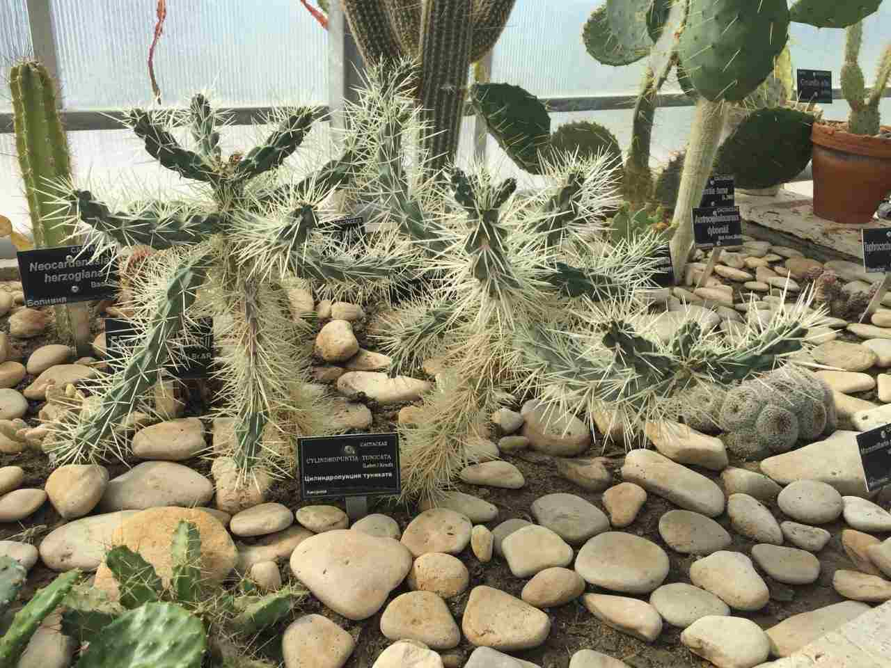 Cylindropuntia tunicata, the sheathed cholla, in the glass house