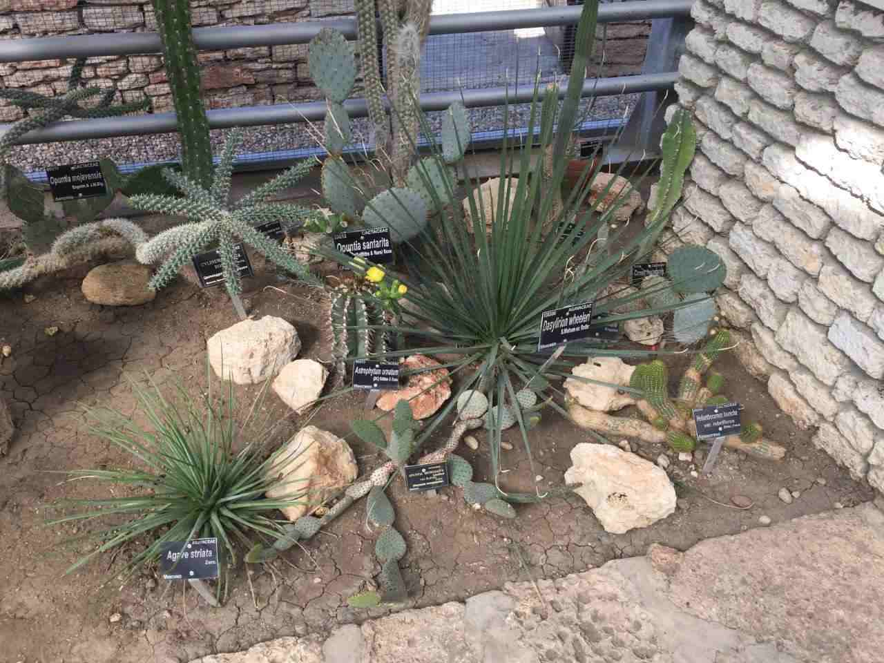 Daslyrion wheeleri, Agave striata and other cacti