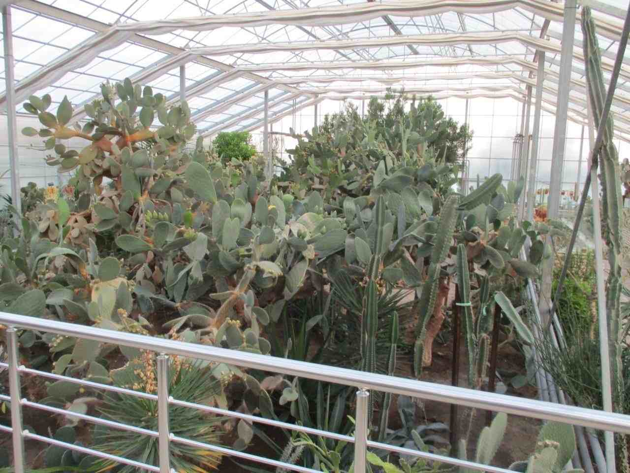 Large cactus in the enormous glasshouse