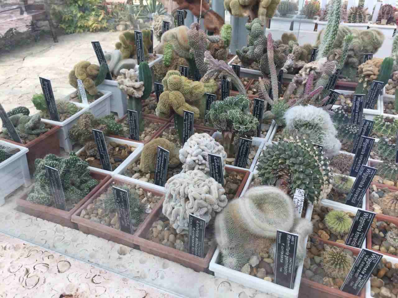 A collection of small cacti in the glasshouse