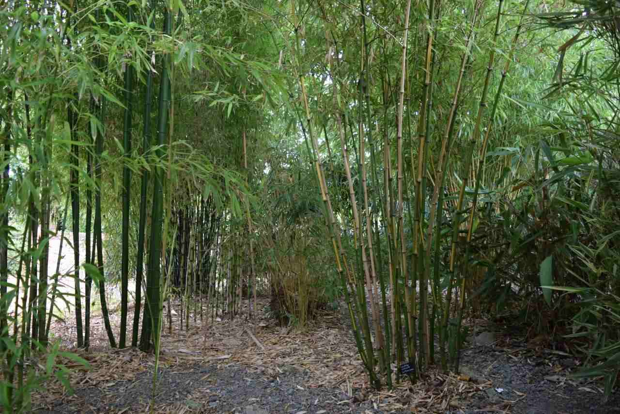 Large bamboo copse whoing different types of Phyllostachys bamboo