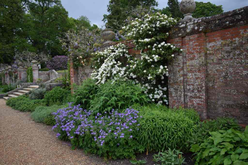 Viburnum with geraniums at Blickling