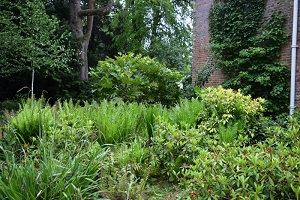 ferns and fatsia by the orangery
