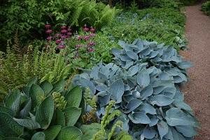 Hostas and ferns with candelabra primula