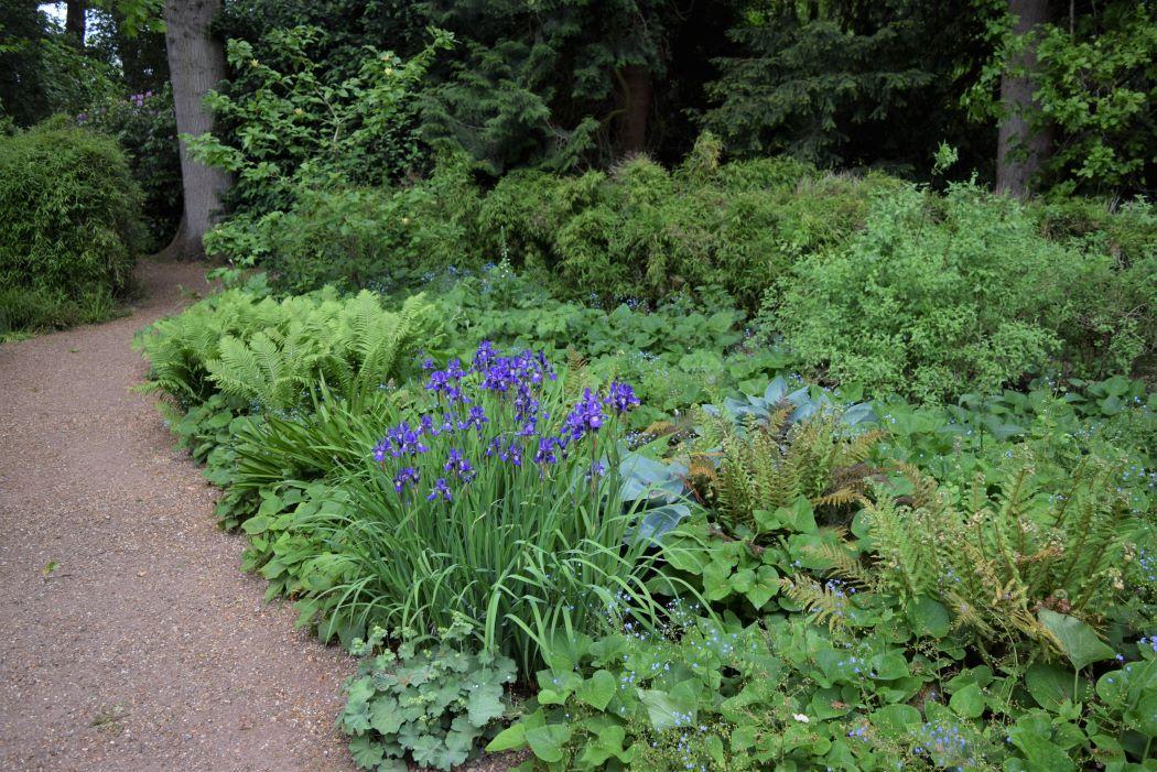 iris sibirica blickling