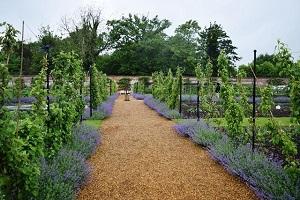 Nepeta edging the paths in teh blickling vegetable garden