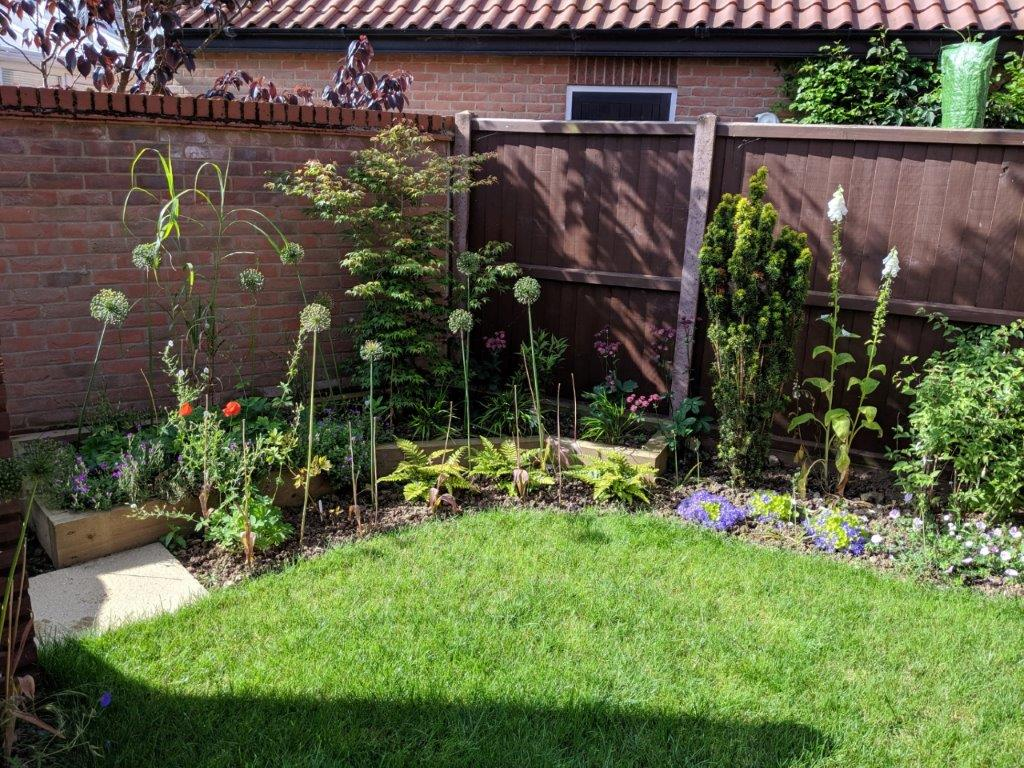 Raised bed with Acer Katsura in summer with allium seedheads