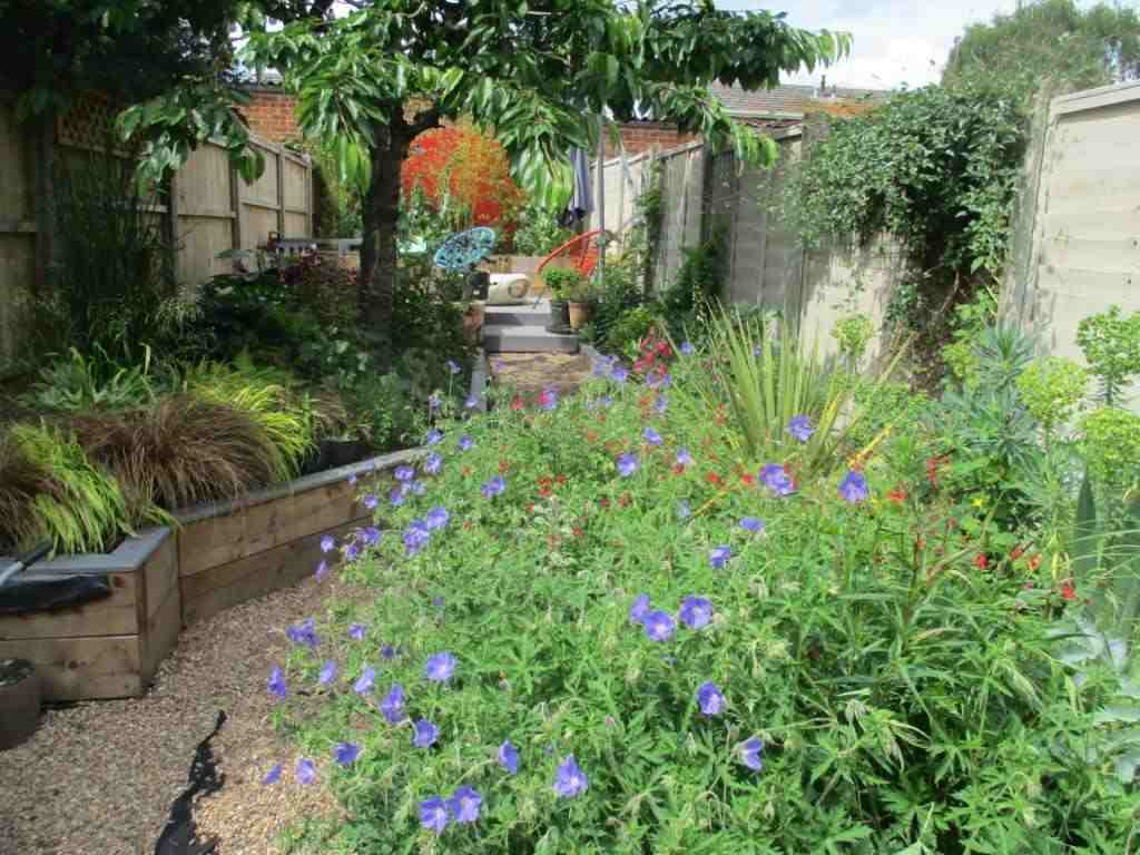 View of the garden towards the back wall showing Geranium 'Brookside' in the foreground with Carex and Hakeonechloa along the path