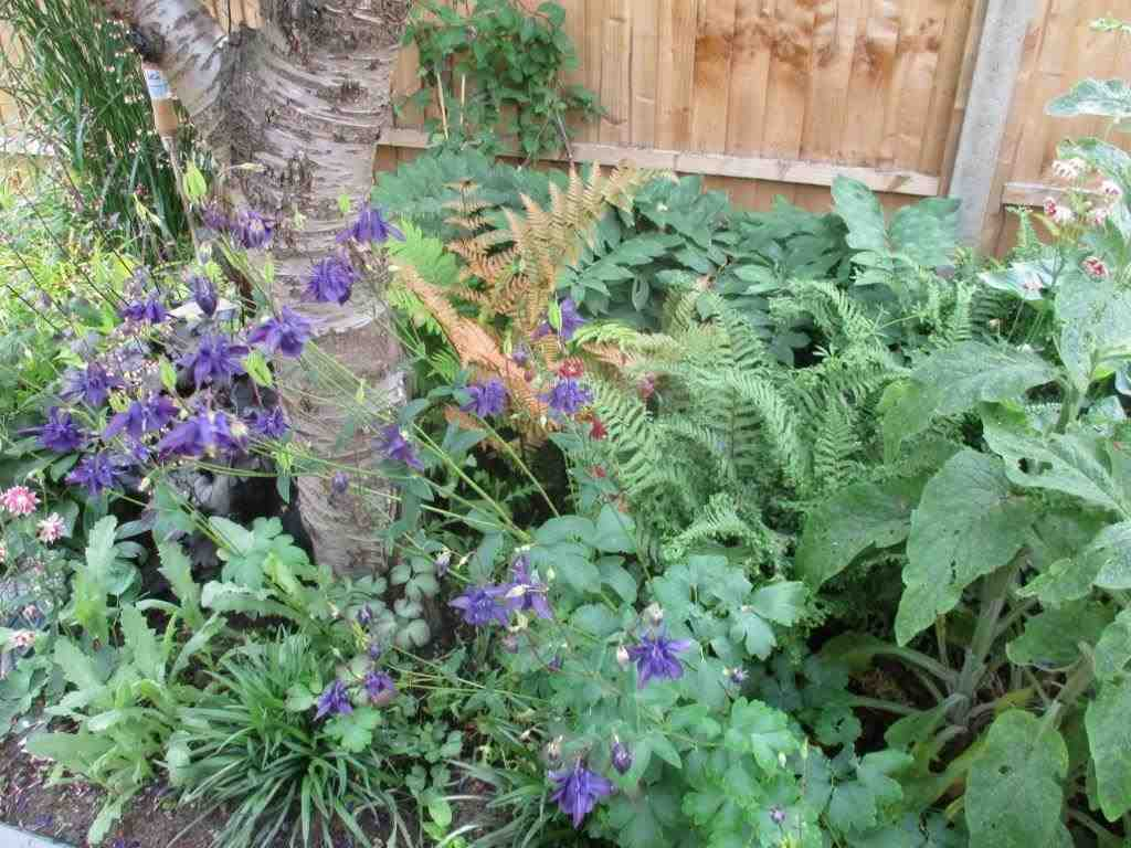 Ground cover under the Cherry tree showing Aquilegia, Dryopteris (with orange fronds) and foxgloves