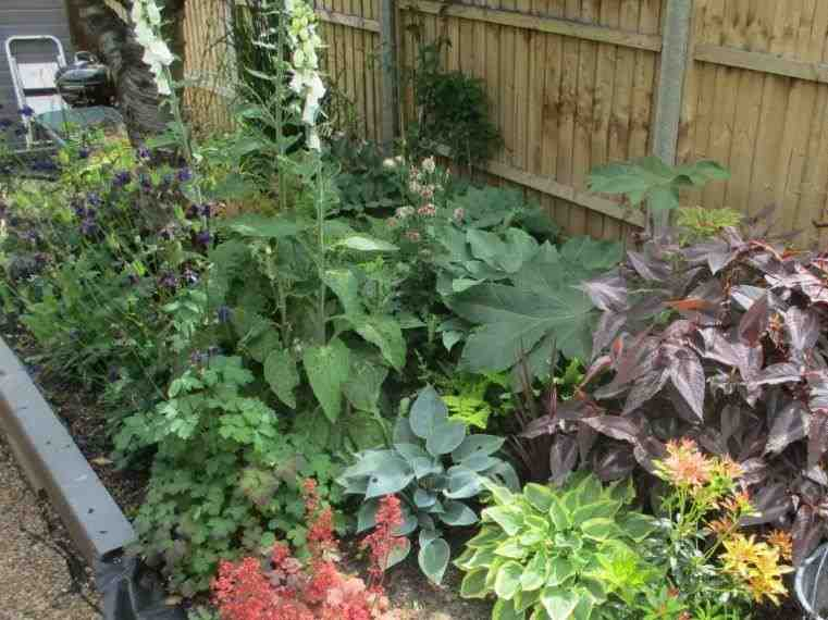 Hostas, heuchera, purple Persicaria and Tetrapanax